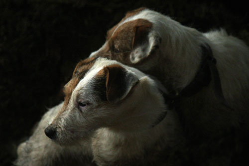 Jack Russell Terrier images by Betty Fold Gallery